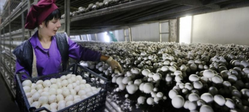 Сімейний бізнес: як на Львівщині вирощують 100 тонн шампіньйонів намісяць